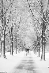 When (gusdiaz) Tags: photoshop photomanipulation composite digital art blackandwhite bw blancoynegro arte blanco negro arboles trees deer venado bosque vegetacion winter invierno beautiful hermoso sendero camino