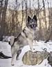 Viking dog. (lexlikelily) Tags: vikingdog dog nikon cutie nature elkhound