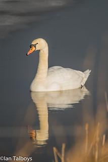 Loch of Strathbeg Mute Swan