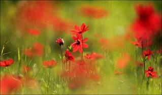 Red wild anemones