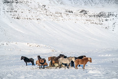 Icelandic horses (George Pachantouris) Tags: iceland north arctic cold winter snow white ice frozen freeze horse nordics