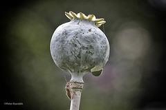 Mohn / poppy (peterkaroblis) Tags: garten garden blume flower makro pflanze insekt insect mohn poppy papaver