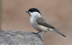 Marsh Tit (Parus palusteis) (festoon1) Tags: bird tit nottinghamshire marshtit paruspalustris