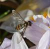 Gestern noch Eis und Schnee und heute tummeln sich die Schwebfliegen auf den Blüten , NGIDn1360062275 (naturgucker.de) Tags: ngidn1360062275 naturguckerde episyrphusbalteatus dolgesheim hinterwiesen cursulagoenner