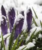 2018-02-19 When spring and winter collide! (Mary Wardell) Tags: purple cold snow winter spring unexpected canon 80d
