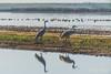 Visitors and more visitors (Roy Prasad) Tags: crane bird migration migrating sandhill prasad royprasad lodi california travel water nature sony a7rm3