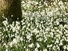 Early Spring Day (valerie C bayley) Tags: dorothyclive staffordshire gardens iphone white buds sunnyday springtime tree carpet snowdrops flowers