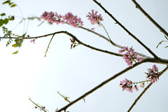 Philippine Blossoms (bryanshoots) Tags: fujifilm xt20 philippines tree nature flowers