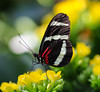 Butterfly (LuckyMeyer) Tags: insect makro schmetterling butterfly flower fleur green yellow black red botanical garden