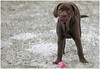Mollie loves the snow - get out of the conservatory (pg tips2) Tags: magnificent mollie labrador cross mastiff snow pup puppy 15weeks chocolate