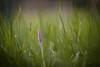 Lonely Dreamer (ursulamller900) Tags: helios442 krokus crocus bokeh green purple mygarden