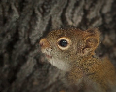 Pee Wee 2 (LupaImages) Tags: squirrel redsquirrel baby tiny animal wild wildlife fur whiskers cute face outdoors outside tree bark