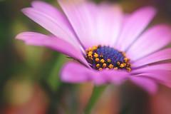 Aren't you longing for summer? (Wim van Bezouw) Tags: sony ilce7m2 nature selectiveconceptualdof flower plant bokeh