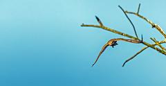 Found it! (matthew0310851) Tags: faucon oiseaux gand belgique flandres bourgoyenossemersen nature observation marais rapace envol