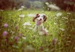 Meadow Happiness (Missy Jussy) Tags: france fields flowers happiness meadow summer southwestfrance holiday animal pet dog dogwalk englishspringer springerspaniel spaniel canon canon5dmarkll ef100mm f28 macrousm
