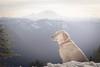 Summit dogs on South Bessemer (johnwporter) Tags: hiking snowshoe cascades mountains nationalforest mtbakersnoqualmienationalforest southbessemer 徒步 雪鞋行 喀斯喀特山脈 山 國家森林 貝克山史諾夸米國家森林 南貝瑟默 labrador yellowlab 拉布拉多 黃拉不拉多