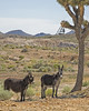 Pancho and Lefty (magnetic_red) Tags: burros cute longears fat joshuatree western west outdoors nature desert