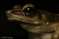 Rock Frog on a Rock (Elliot Pelling) Tags: frog amphibian malaysia cameron highlands herp herping night walk field frogs beautiful wild nature animal canon 100mm macro photography portrait