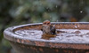 superb fairywren (Malurus cyaneus)-0456 (rawshorty) Tags: rawshorty birds canberra australia act symonston