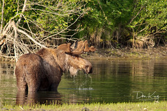 Browsing Bull (blkwolf1017) Tags: bullmoose bull alcesalces pond browsing summer tworivers chenariverstaterecreationarea alaska canon50d sigma150500mm