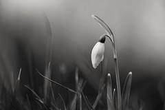 Hidden in the grass (peeteninge) Tags: bw zwartwit flower snowdrop macro natuur bloem sneeuwklokje nature fujifilmxt2 fujifilm