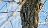 Red-breasted Sapsucker - DSC_2034 (SumBerd) Tags: nikon d500 tamron 150600mm lagoon valley park vacaville california wildlife birds avian redbreasted sapsucker woodpecker