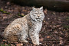 Lynx (Cloudtail the Snow Leopard) Tags: luchs lynx katze cat feline animal tier säugetier mammal beutegreifer predator pinselohr wildpark wildparadies tripsdrill