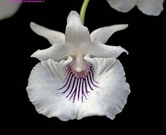 Orchid White . (rumerbob) Tags: orchidwhite orchid flower floral flowergarden fauna flowerphoto macro macroflower macrophotography botany botanicalgardens botanical nature naturewatcher naturephotography longwoodgardens canon7dmarkii canon100mmmacrolens