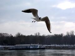 Gull on the Danube River (danube9999) Tags: bird gull river danube bratislava