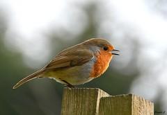 Sunday Serenade (Eleanor (No multiple invites please)) Tags: robin singing fencepost bokeh garden stanmore uk nikond7200 february2018