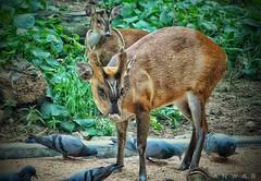 Hey u bark #barkingdeer #cute #mammal #herbivore #friendly #animal #mysore #zoo #tourism (anwarnawaz) Tags: animal friendly cute mysore herbivore tourism zoo barkingdeer mammal