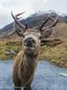 Cheeky stag (rjonsen) Tags: stag deer antlers wildlife glen etive scotland alba