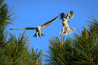 White-tailed Kites With Dinner Guest