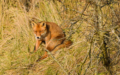 Fox (vos) (moniquedoon) Tags: fox vos mammal wildlife wildlifephotography nature beautiful naturephotography animal dier sunbathing amsterdamse waterleidingduinen nikon nikkor naturewatch winterwatch2017 bestwild