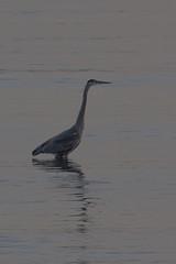 IMG_2688 (armadil) Tags: mavericks beach beaches californiabeaches bird birds heron blueheron greatblueheron