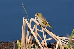 IMGP0572 (hawaza) Tags: bird birds reed water lake riaformosa algarve portugal