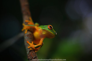 the dainty tree frog..