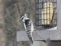 Female hairy woodpecker (Quevillon) Tags: canada québec archipeldhochelaga hochelagaarchipelago laval îlejésus sainterose boisdeléquerre park hairywoodpecker leuconotopicusvillosus woodpecker bird