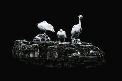 Pelicans (miroto2014) Tags: pelicans birds wildlife londonwildlife stjamespark stjamesparkpelicans