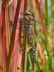2016 - 1st shot of a Migrant Hawker (Visual Stripes) Tags: odonata dragonfly insect invertebrate mzuiko 35mm olympus olympusepm1 macrolens