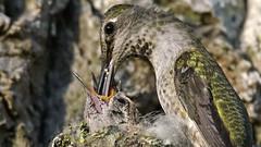 Hummingbird Nest (photosauraus rex) Tags: bird nest hummingbird hummingbirdnest nestfeeding annahummingbirdyoung