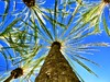 Climbing the Palm Tree (Bennilover) Tags: palmtrees palms fronds noondaysun sunny bright treetrunk climbing