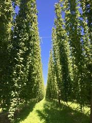 Hopfen in Spalt (ArminBe) Tags: hopfen bayern spalt bier beer hop bavaria