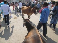 Cows are like human beings in India (ShaluSharmaBihar) Tags: hinduism hindu hindus hindustan hindugod hindufaith hindugoddess hinduwomen hinduprayer religion religious religions relic religiousquote cows cow holycow india indianwomen indianwoman