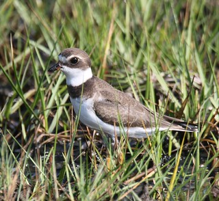 Semipalmated Plover (Charadrius semipalmatus) 08-22-2017 Assateague I. NS--Ferry Landing, Worcester Co. MD 3