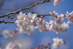 February blossoms (Tim Brown's Pictures) Tags: washingtondc nationalmall washingtonmonument blueskies puffyclouds cherryblossoms cherrytrees februarywarmspell weather climate washington dc unitedstates