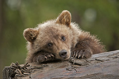 Rainy Day Grizzly Cub - Different Pose (AlaskaFreezeFrame) Tags: grizzly brownbear grizzlybear bears bruin alaska alaskafreezeframe outdoors wildlife nature dangerous ursusarctoshorriblis mammal carnivore omnivore meadow grass fall claws canon telephoto powerful beautiful magnificent rain nastyweather cub forlorn rainy wet sad cute sweet lonesome coth5
