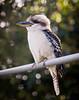 Kookaburra (Tony Steinberg Photography) Tags: bird kingfishers kookaburra nature