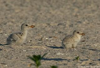 Skimmer chicks
