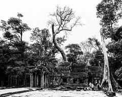 Angkor   |   Ta Prohm (JB_1984) Tags: taprohm temple ruin decay tree root tetrameles texture blackandwhite bw mono templesofangkor khmer siemreap krongsiemreap cambodia cambodge kampuchea nikon d500 nikond500